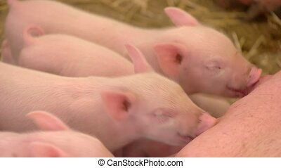 Pigs drinking milk from sow. Small hogs of pink color. The...