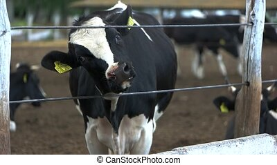 Cow sticking head through fence. Calf with tags on ears....