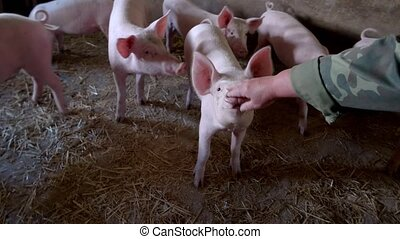 Hand touches hog's nose. Group of white piggies. Owner of...