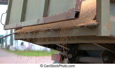 Grain falling from a truck. Grains of yellow color. Rich...
