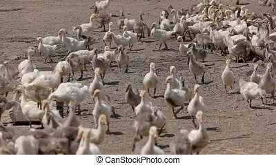 Herd of white geese. Birds are eating. Poultry needs healthy...