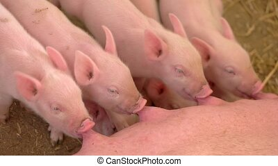 Piggies drink milk from sow. Group of little pigs. Breeding...
