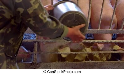 Pigs eat from trough. Man's hands with a bucket. Farmer...