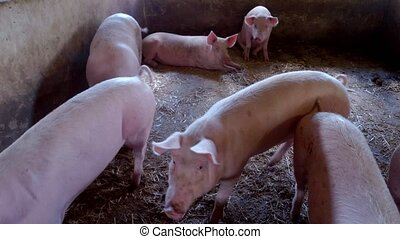 Small group of pigs. Piggy lies on straw. Agricultural...