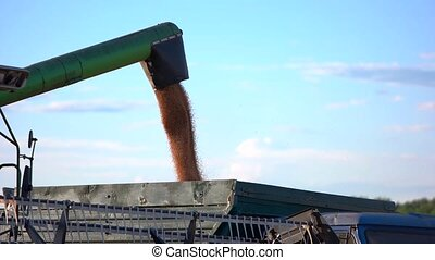 Grain falls into a truck. Side pipe of a combine. Cargo of...