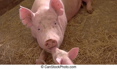 Pink pig lies on straw. Piglet touches face of sow. Piggie...