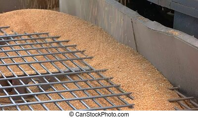 Grains are falling. Pile of grain in container. Wheat from...