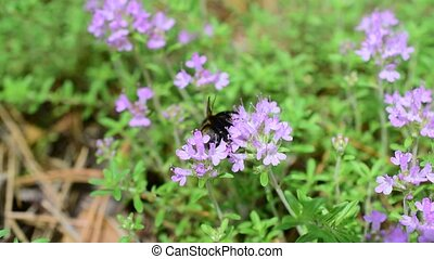 Bumblebee on thyme flowers collecting nectar or pollen in...