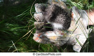 Holding a hedgehog in hands with gloves