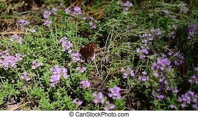 Butterfly on thyme flowers collecting nectar or pollen in...