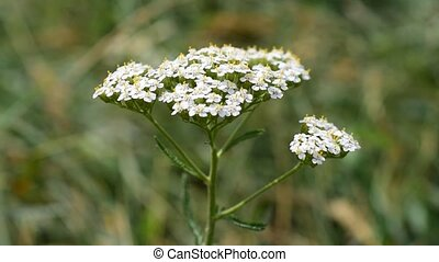 Achillea millefolium. Yarrow flower close up. Yarrow is a...