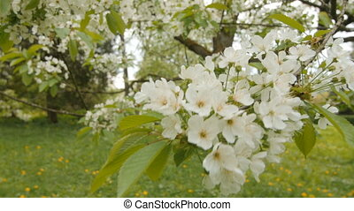 Spring flower on big cherry tree branch. Beautiful nature...