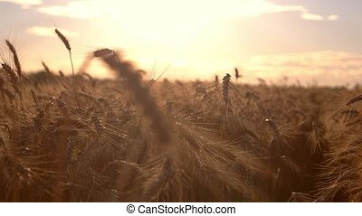 Grain field on sun background.