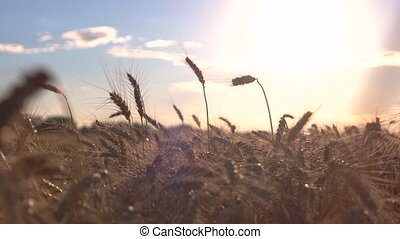Field on bright sun background. Stems and sky. More precious...