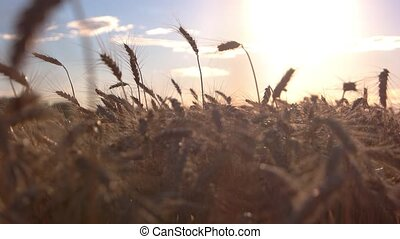 Field on sun background. Ears moving in the wind. Call of...