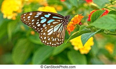 Butterfly feeding on flowers macro