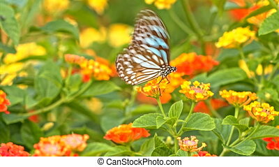 Butterfly feeding on flowers macro - Colorful butterfly...