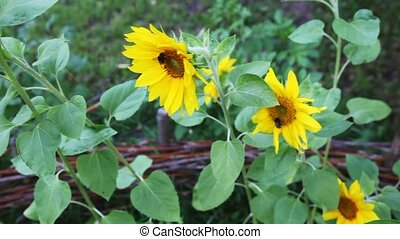 review yellow sunflowers with humble-bee sits on it in nature in summer