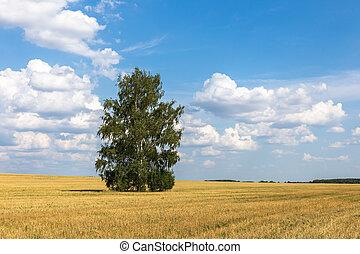 Lonely birch in a field.