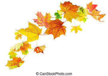 Falling autumn maple leaves on white background