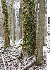 Old elm tree moss wrapped in winter,Bialowieza...