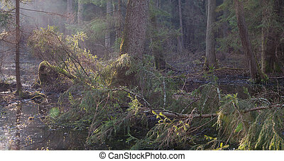 Riparian stand in morning with broken spruce - Bialowieza...