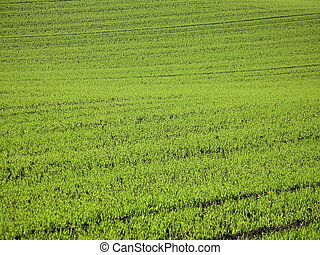 Green Meadow - Field with short green plants, in the...