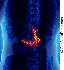 vesícula biliar, macho, Ilustración,  3D