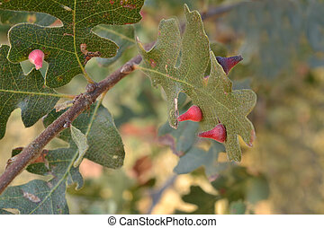 Red Cone Gall Wasp on oak caused by Andricus kingi in...