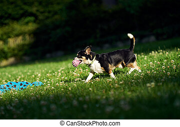 Chihuahua with a ball in the park