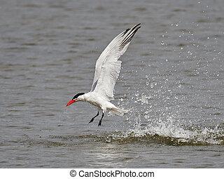 Caspian tern (Hydroprogne caspia) - Caspian tern in flight...