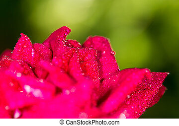 water drops on a red rose in nature