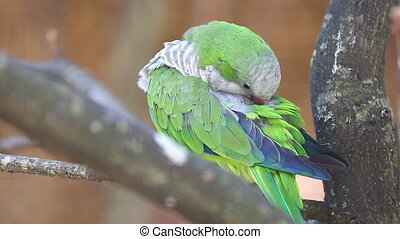 Monk Parakeet Cleaning Itself - Monk Parakeet (Myiopsitta...
