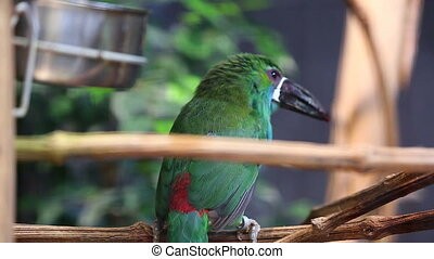 Crimson-Rumped Toucanet Jumping on the Branch