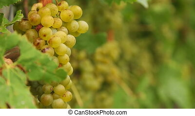 White grapes bunch - Bunches of white wine grapes hang from...