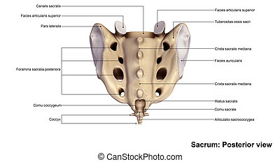 Sacrum Posterior view - It also articulates with the hip...