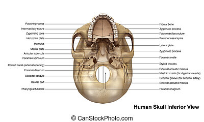 Skull Inferior view - The human skull is generally...
