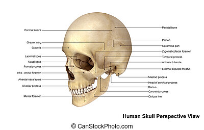 Skull Perspective view - The human skull is generally...