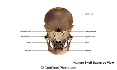 Skull Scattered Back view - The human skull is generally...