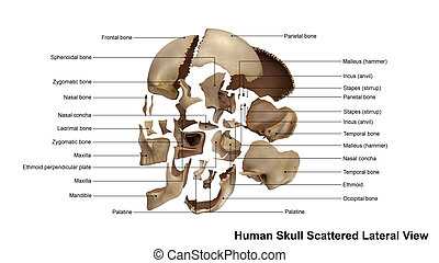 Skull Scattered Lateral view - The human skull is generally...
