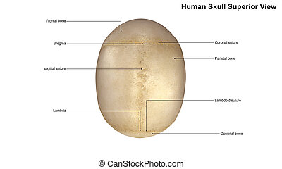Skull Superior view - The human skull is generally...
