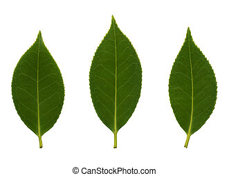 Camelia leaves - Beautiful detail of the camelia leaves...
