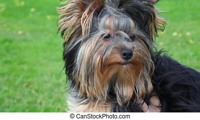 portrait of Yorkshire terrier, green grass in background