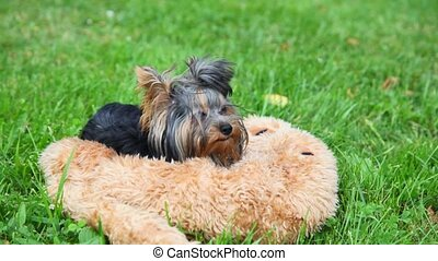 Yorkshire terrier Lies, then runs to play, green grass in...