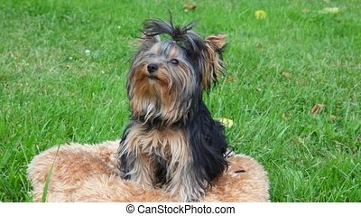 Yorkshire terrier sits, then runs to play, green grass in...