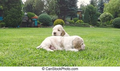 English Cocker Spaniel family, caring female mother with...