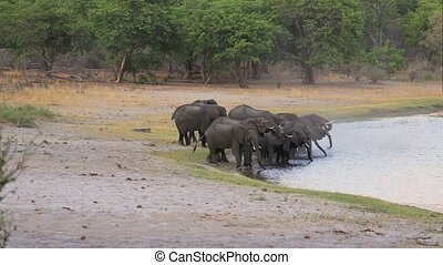 herd of African elephants on waterh - herd of African...