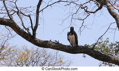 Very large eagle african Martial Eagle sitting in tree,...