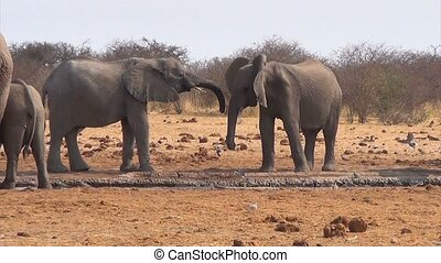 African elephants at a muddy waterh - Two young African...