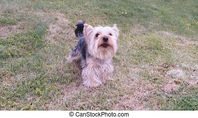 small dog yorkshire terrier barks - Cute small dog yorkshire...